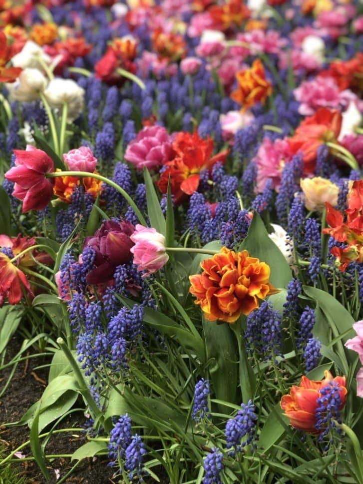 holland flowers 01
